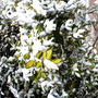 Winter: yellow and green leaves (hedge)