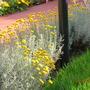 Santolina (Chamaecyparissus Santolina (lavanda Cotone))