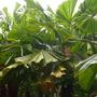 Licuala ramsayi - Australian Fan Palm (Licuala ramsayi - Australian Fan Palm)