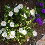 Rockrose... Mediterranean jewel ... (Cistus salviifolius (Salvia Cistus))