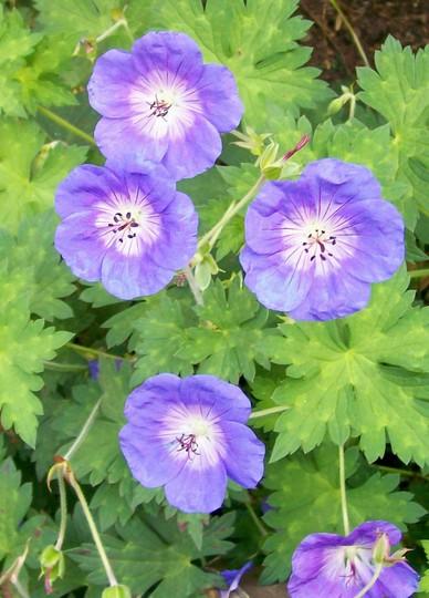 Geranium 'Rozanne' (Geranium)