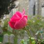 Churchyard_Rose.jpg