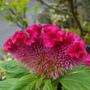 Cockscomb (Celosia cristata)