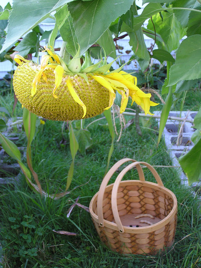 Sunflower and the bean harvest (Helianthus annuus (Sunflower))