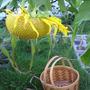 Sunflower_sept