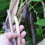 Harvesting dry cornplanter purple beans (Phaseolus vulgaris (Common garden bean))