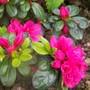 Just one of my Japanese azaleas
