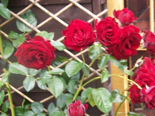 Red Rose (Rosa Crimson Cascade)
