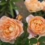 Apricot rose (rosa Sweet Dream)