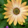 Another late September pic... (osteospermum)