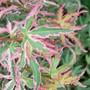 Acer Taylor.... (Acer palmatum (Japanese maple))