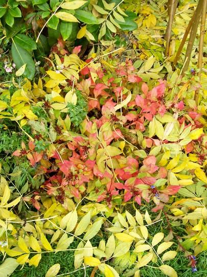Autumn colours (Ceratostigma plumbaginoides)