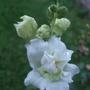 White_butterfly_antirrhinum