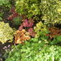 heuchera (heuchera mixed)