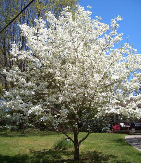 Dogwood (Cornus rugosa (Round-leaf Dogwood))