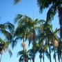 Archontophoenix cunninghamiamiana - King Palms (Archontophoenix cunninghamiamiana - King Palms)