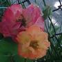 St._joseph_s_roses