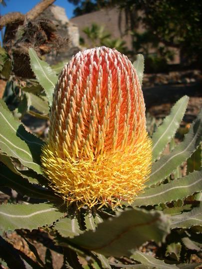 Banksia menziessi - Firewood Banksia (Banksia menziessi - Firewood Banksia)