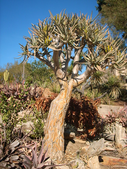 Aloe 'Medusa'  (Aloe 'Medusa')