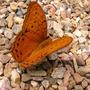 Cruiser Butterfly.Vindula arsinone adais (Vindula arsinone adais)