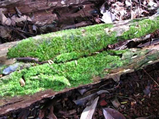 MOSSY GROWTH ON DEAD TREE LOGS
