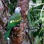 Wompoo fruit Dove (Wompoo fruit Dove)