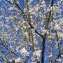 Cherry Plum or Myrobalan (Prunus cerasifera (Purple plum))