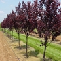 Plum Tree (Prunus cerasifera (Purple plum))