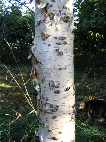 Paper Birch or Canoe Birch (Betula papyrifera (Canoe Birch))