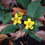 Chrysogonum_virginianum