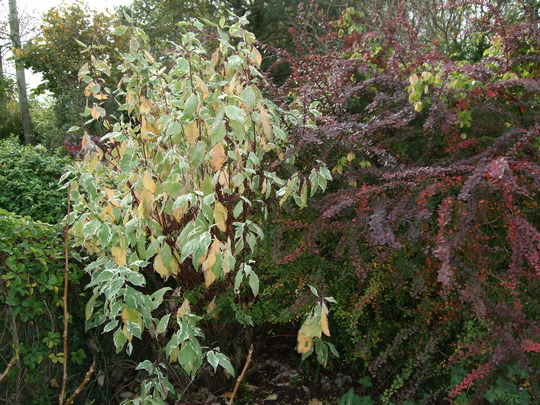 Autumn colours  (Cornus alba)