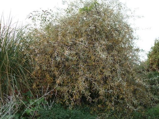 Gold and silver (Pyrus salicifolia)