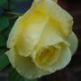 449a_garden_rose_31_oct_09
