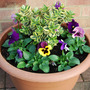 456a_joy_s_tub_verigated_hebe_pansies_31_oct_09