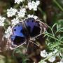 383a_butterfly_salalah_oman_2009