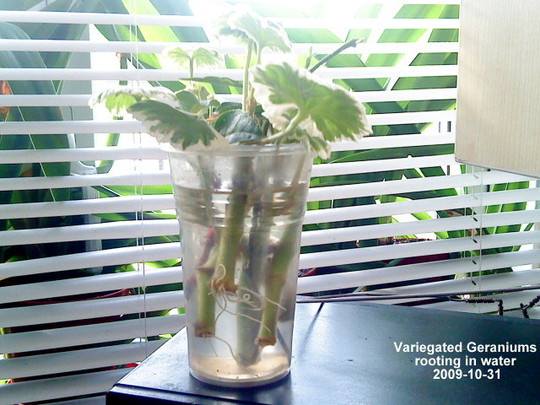 Variegated Geraniums rooting in water 2009-10-31 (Pelargonium zonal)