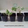 Variegated Geraniums potted up 2009-10-31 (Pelargonium Zonal)