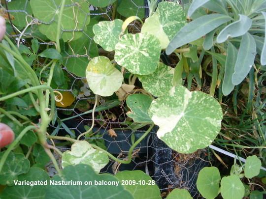 Variegated Nasturtium on balcony 2009-10-31 (Tropaeolum majus (Compact Nasturtium))