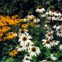 Rudbeckia_and_echinacea