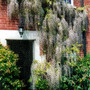 Wisteria (Wisteria japonica 'macrobotrys')