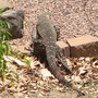 Today I spotted a Lace Monitor Lizard (Varanus varius) on the hunt for duck's eggs.