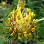 Kidney Vetch (Anthyllis vulneraria (Kidney vetch))
