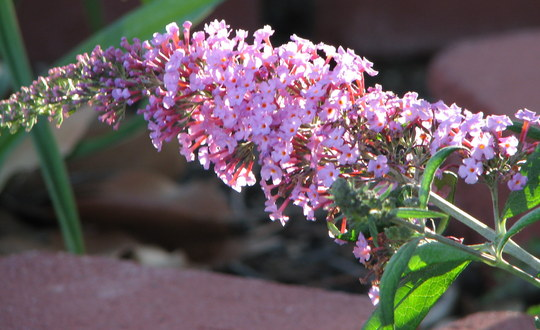 Now our last month of spring downunder - buddleia is blooming!