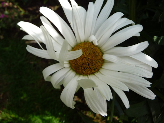 shasta daist (Leucanthemum x superbum)