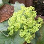 Autumn Green....lovely Lady's Mantle (Alchemilla mollis)