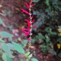 Pineapple Sage (Salvia elegans (Pineapple Scented Sage))