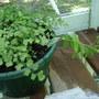 Passiflora rescue (Passiflora caerulea (Passion flower))