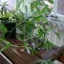 10_31_09 passiflora cuttings in water (Passiflora caerulea (Passion flower))