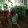 10_31_09 photo 2 cuttings in water (passiflora)