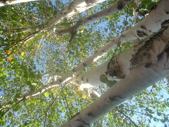 Birch tree  (Betula pubescens (White Birch))